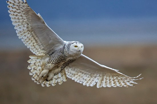 First Place: Overall Snowy Owl by Diane McAllister, Nevada Photo taken in British Columbia