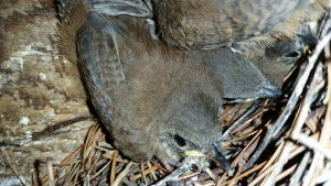 House Wren Chick in nest. © A. T. Baron