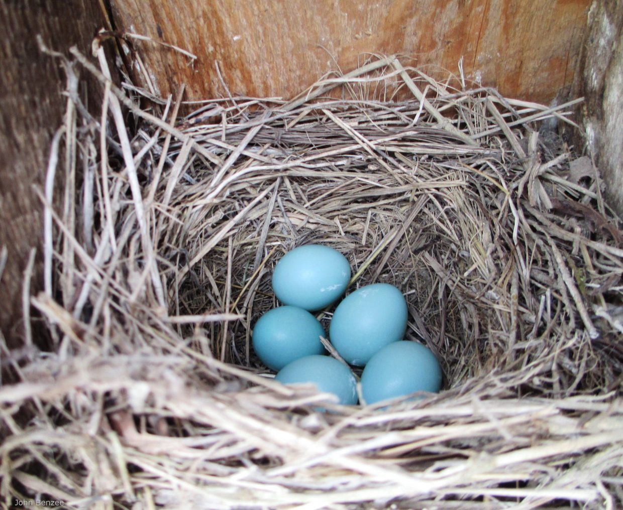 Bluebird eggs in nest. © John Benzee