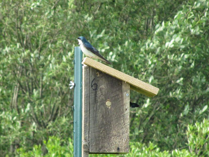 Tree Swallow MP6_20130531