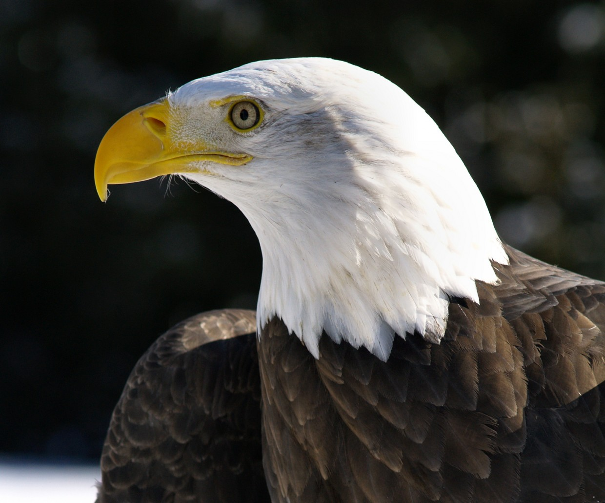 American Eagle Day – A Special Day for a Special Bird