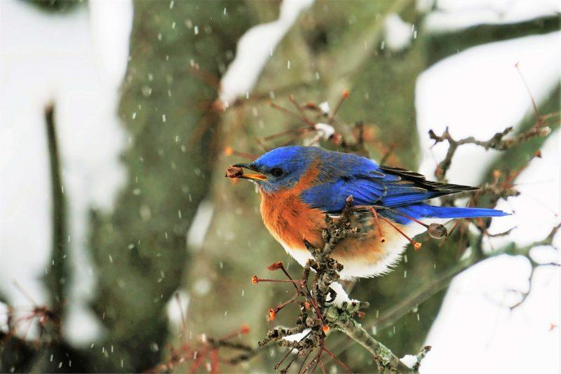 Bluebird eating in bush