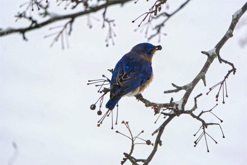 Bluebird eating in bush top