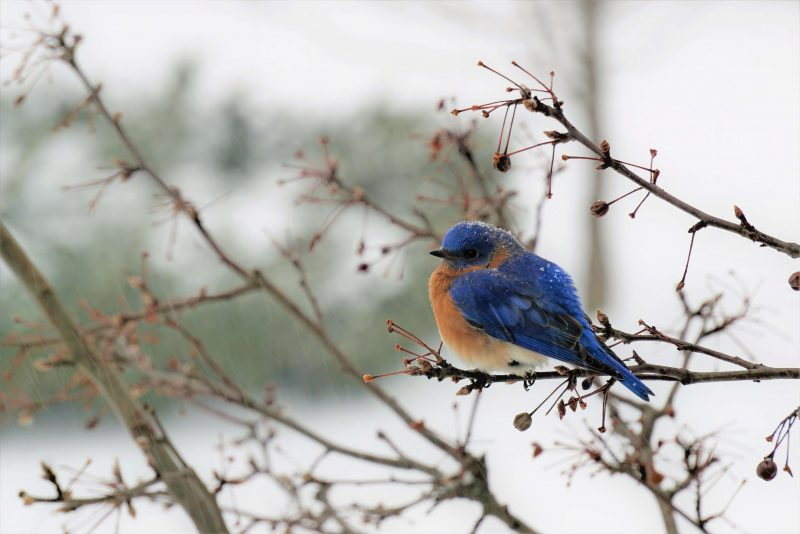 Bluebird in bush