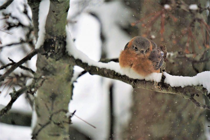 Bluebird on snowy branch